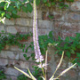 Veronicastrum virginicum ('Fascination') (Veronicastrum virginicum (Culver's Root))