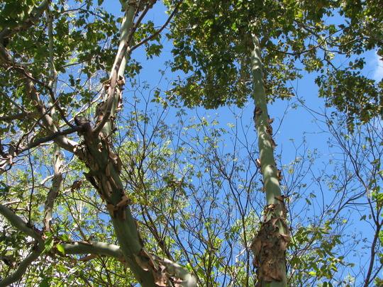 Corymbia torelliana - Cadaghi Gum (Corymbia torelliana)