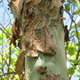 End-of-Spring downunder - Corymbia torelliana (Cadaghi Gum) is shedding. (Corymbia torelliana)