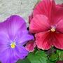 violets in my garden today