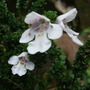 Prostanthea Alpine Mint Bush. (Postathera.)