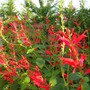 "The latest ""tongues of fire"" of my salvia elegans (Salvia elegans (Pineapple Scented Sage))"