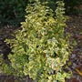 Euonymus fortunei 'Emerald and Gold' (Euonymus fortunei 'Emerald'n'Gold')