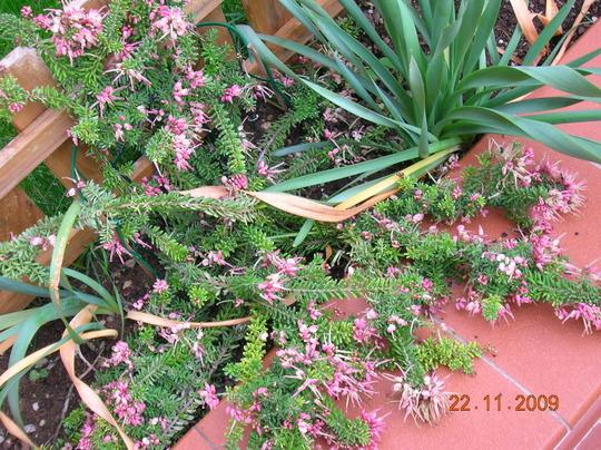 Grevillea lanigera Mt. Tamboritha (Grevillea lanigera Mt. Tamboritha)