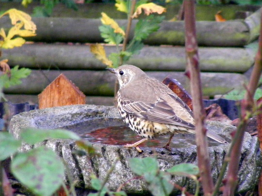 Mistle Thrush     (Garden Visitor)