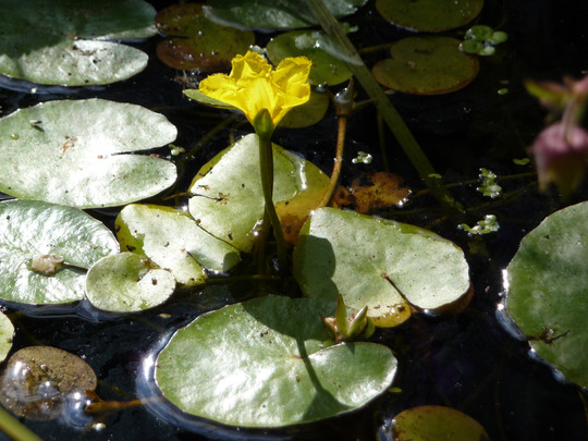 Nymphoides peltata (Fringed Water Lily) (Nymphoides peltata (Fringed water-lily))
