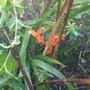 Iris_foetidissima_22.11.9