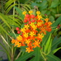 Asclepias tuberosa - Butterfly Plant (Asclepias tuberosa - Butterfly Plant)