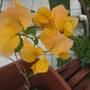 Orange Bougainvillea bloom
