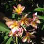 More Frangipani Flowers