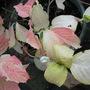 Can anyone beat this for autumn colour? (Hydrangea Macrophylla Quadricolour)