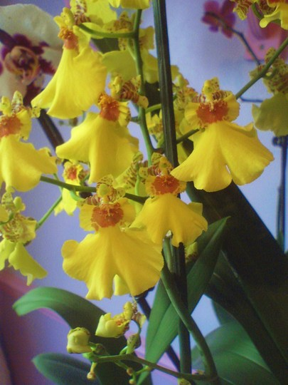 Orchid Oncidium (Orchid)