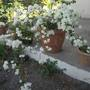White bougainvillea - For Bernieh and Sanbaz