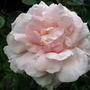 Rose 'Sarah van Fleet' (Rosa 'Sarah van Fleet')