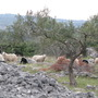 olive trees and sheeps on my island