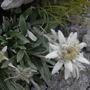 Leontopodinum alpinum
