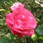 Rose 'Pink Perpetue' (Rosa 'Pink Perpetue')