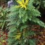 A jewel in the winter garden (Mahonia charity)