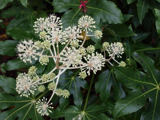 Brightening the winter garden (Fatsia japonica)