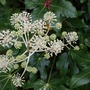 Brightening the winter garden (Fatsia japonica)