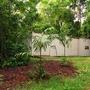 Ptychosperma macarthurii palms getting established (Ptychosperma macarthurii palm)