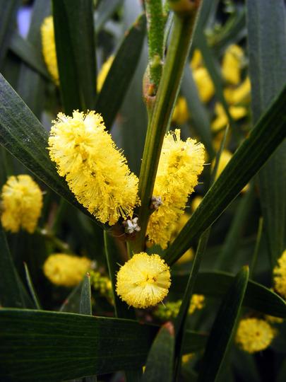 acacia longifolia (Acacia longifolia (Sydney golden wattle))