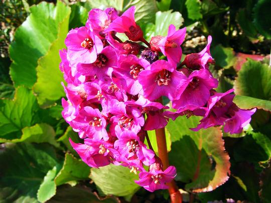 Bergenia emeiensis 'Eroica' (Bergenia emeiensis)