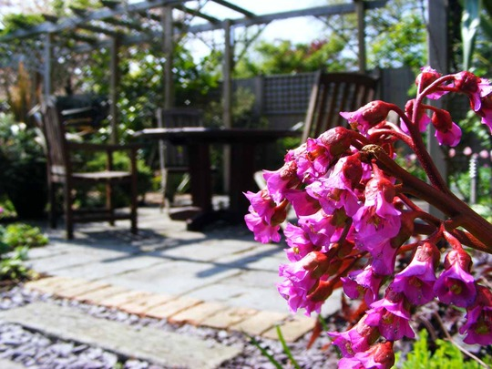 Family Garden (Bergenia emeiensis)