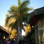 Roystonea regia - Royal Palms  (Roystonea regia - Royal Palms)