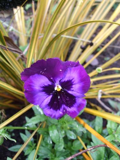 Pansy and Libertia (Libertia peregrinans (New Zealand Iris))
