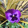 Pansy and Libertia (Libertia peregrinans (New Zealand Iris))
