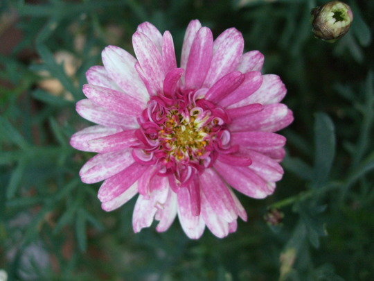 Close-up  (Argyranthemum)