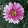 Close-up  (Argyranthemum)