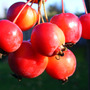 looking good in November (Malus x robusta 'Red Sentinel')