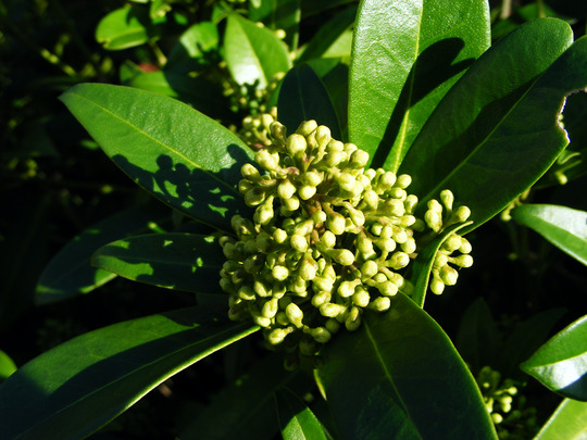 Looking good in November (Skimmia x confusa 'Kew Green')