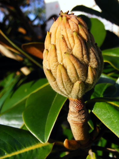 Magnolia grandiflora (Magnolia grandiflora (Bull Bay))