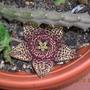 Stapelia variegata (stapelia variegata)