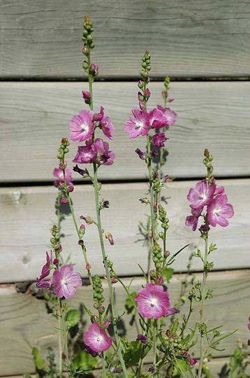 Checkbloom - Sidalcea 'Party Girl' (Sidalcea malviflora (Checkerbloom))