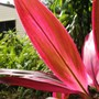 Cordyline sp. common tropical