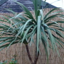 Cornish_palm_3_