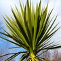 Cordyline australis (Cordyline australis (New Zealand cabbage palm))