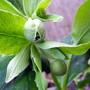 Hellebore Foetidus Flower Buds 4 Spritz !!