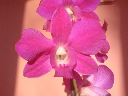 Orchid Dendrobium (Orchid)