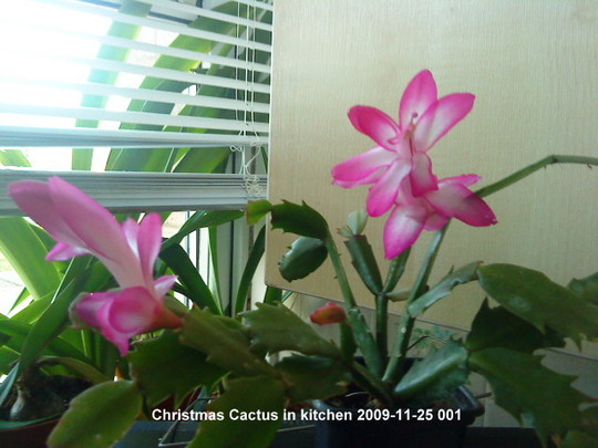 Christmas Cactus 2009-11-25 001 (Schlumbergera truncata)