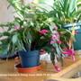 Christmas Cactus 2009-11-25 003 (Schlumbergera truncata)