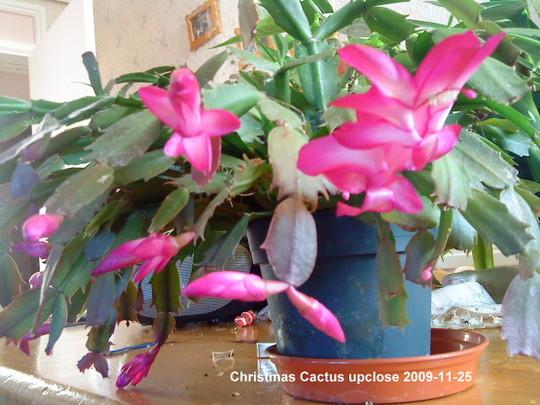 Christmas Cactus in living room 2009-11-25 004 (Schlumbergera truncata)