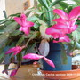 Christmas Cactus in living room 2009-11-25 004 (Schlumbergera truncata)