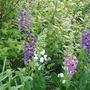 Verbascum phoeniceum (Verbascum phoeniceum (Purple Mullein))