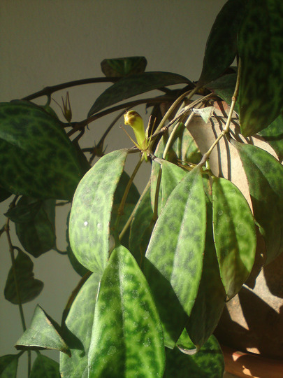 Aeschynanthus marmoratus (Aeschynanthus marmoratus)