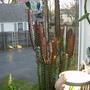 Euphorbia - red
